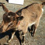 雛祭りの赤ちゃんヤギ